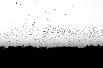 Flock of Birds in Black and White