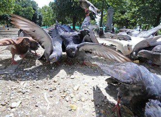 doves and pigeons flutter in the City Park to eat the crumbs