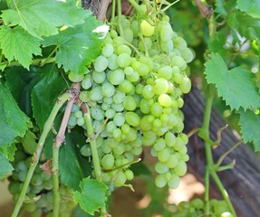 big bunches of white grapes on vineyard in autumn