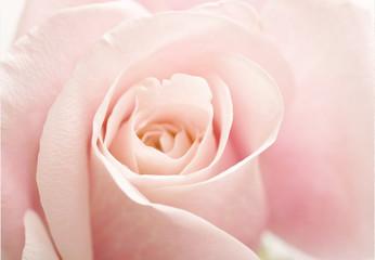 Light Pink Rose Flower High Key Floral