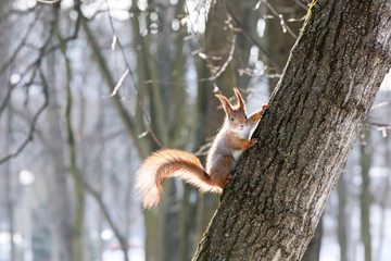 red squirrel in wintertime