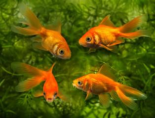 Carassius auratus auratus  -  aquarium fish