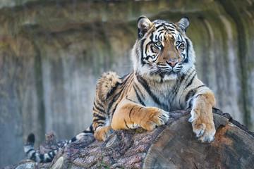 female Sumatran tiger, Panthera tigris sumatrae