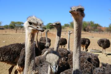 Poster Struisvogel Ostriches in Oudtshoorn. South Africa