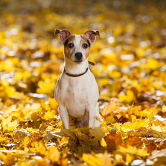 Gorgeous jack russell terrier sitting in yellow leaves