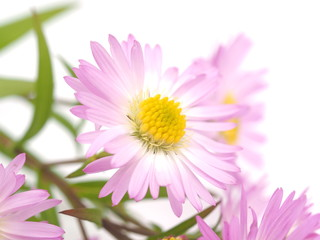 pink perennial aster on a white background