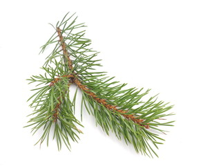 pine branches on a white background