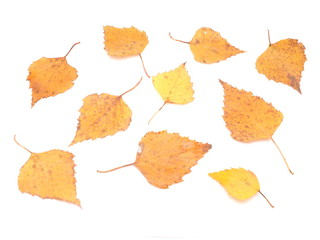 yellow birch leaves on a white background