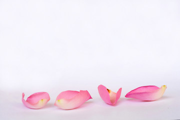 Romantic empty grey white serene background with four pink rose leaves with empty room copy space