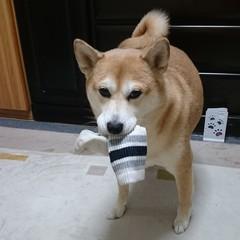 靴下をくわえた柴犬