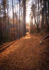 A path of golden autumn leaves in a forest in Corsica