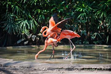 Three Pink flamingo mating