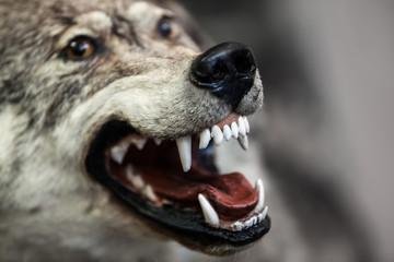 Wild gray wolf animal