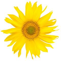 Beautiful yelow sunflower
