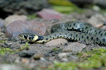 Grass Snake (Natrix Natrix)/Juvenile Grass Snake on mossy, stone covered floor
