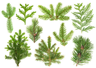 Set of coniferous tree branches. Spruce, pine, thuja, fir Wall mural