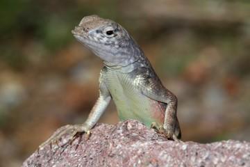 Southwestern Earless Lizard (Cophosaurus texanus scitulus)