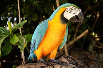 Yellow macao parrot