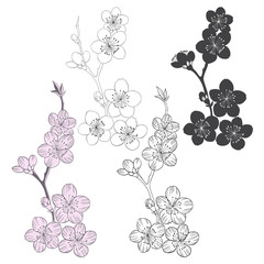 Set of flowering cherry branches  isolated on white background.