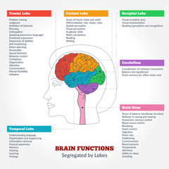 Human brain anatomy and functions