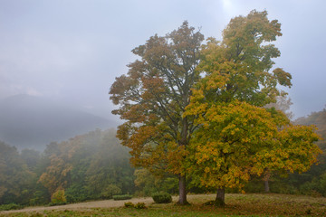 Autumn sycamore in the fog