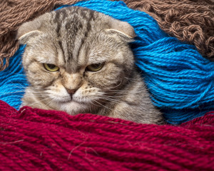 very angry cat looking sternly, wrapped in colored wool thread