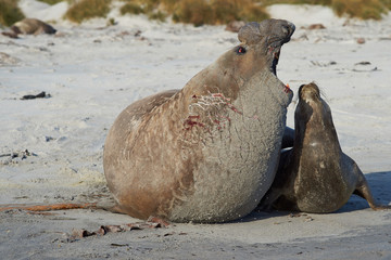 Southern Elephant Seals (Mirounga leonina) mating on a sandy beach on Sealion Island in the Falkland Islands.