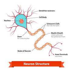 Brain neuron cell diagram