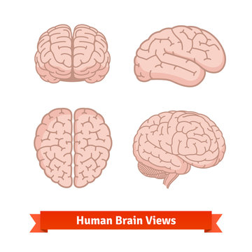 Human brain views. Top, frontal, side.