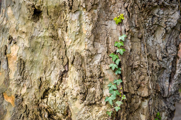 Tree bark and ivy climbing tree