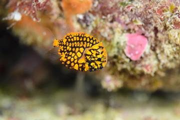 """マツカサウオ幼魚 (Pinecone fish baby) / 全長約1cm程度の生まれて間もない松笠魚の幼魚。水深-16m / Scientific name """"Monocentris japonica"""", about 1cm small size of baby fish of -16m underwater in Japan."""