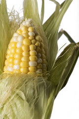 Corn Husk Being Peeled - Closeup