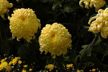 Chrysanthemum flowers/Chrysanthemum flowers in the garden