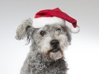 Pumi portrait with a Christmas hat. Image taken in a studio. The breed is known also as Hungarian sheepdog shepherd or Hungarian pumi.