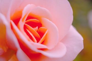 アプリコット色の薔薇(クローズアップ)
