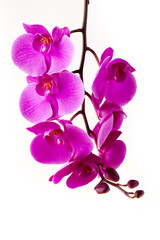 Beautiful pink orchid on the white background.