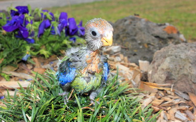 Hand reared baby Australian eastern Rosella in garden setting standing on rocks looking at camera