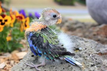 Hand reared baby Australian eastern Rosella in garden setting standing on bricks with head turned