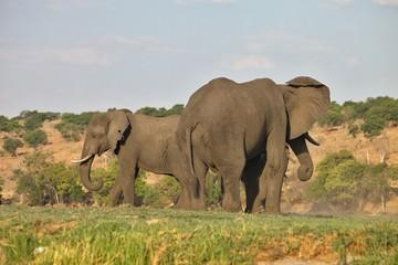 elephant Loxodonta africana,  in Chobe National Park, Botswana