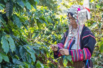 worker tribal dress were harvesting ripe coffee bean