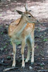 Sika deer portrait (Cervus Nippon).
