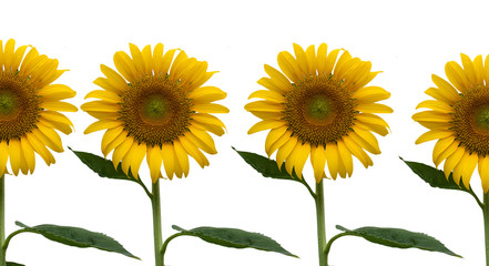 beauty yellow sunflower isolate background