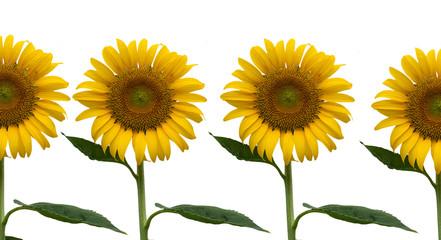 beauty yellow sunflower isolate background
