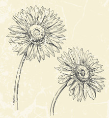 Hand drawn illustration of Gerbera flowers isolated on textured background