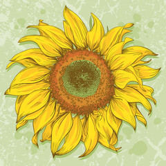 Hand drawn sunflower head isolated on textured background