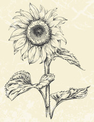 Hand drawn sunflower with leaves ans stem isolated on textured background