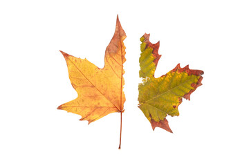 colorful autumn half maple leaf isolated on white background
