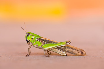 Green grasshopper standing and blurry background.