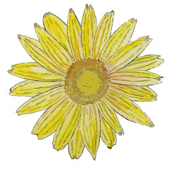 Isolated watercolor sunflower