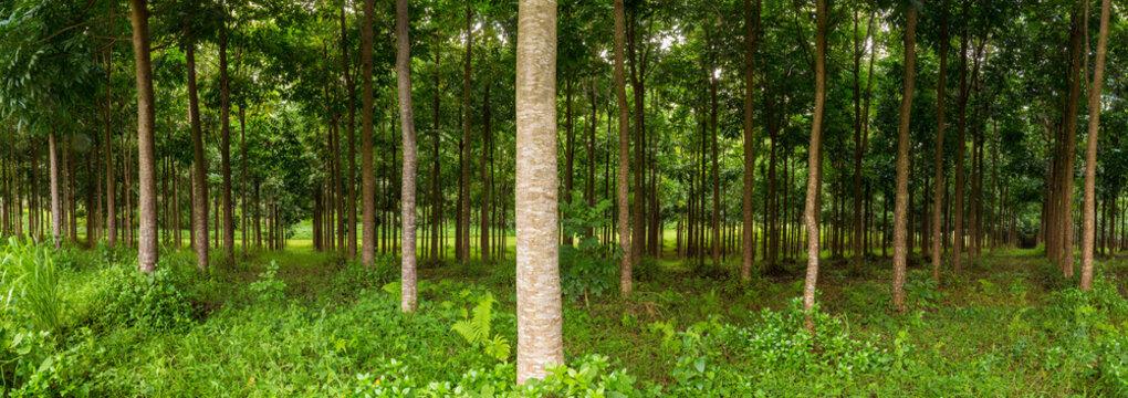 Mahogany plantation in Kauai, Hawaii